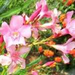 अधिक समय तक खिलने वाले फूलों के पौधे