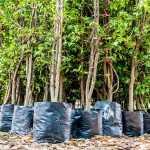 भारत में तेजी से विकसित होने वाले पेड़