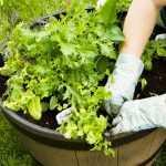 क्या आप गमले में जैविक सब्जियाँ उगाना चाहते है तो यह रही आपकी मिनी गाइड